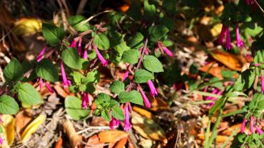 Menta de árbol (clinopodium multiflorum): Nueva especie para ser reforestada