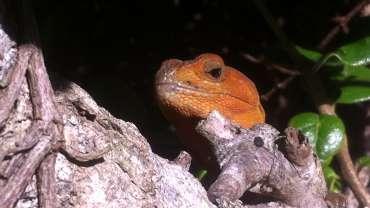 Animales en peligro de extinción: Hallazgo del Lagarto de corbata