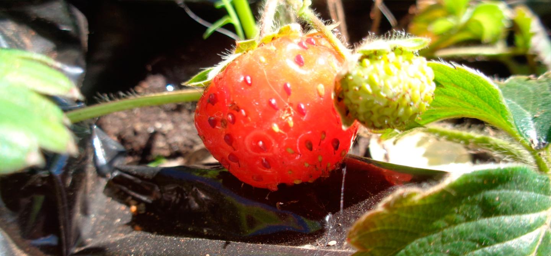 Frutilla: Fruta por extremo vistosa, sabrosa, olorosa y sana